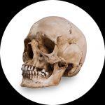 Referanse hodeskaller av Skull Shoppe